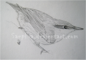 Nuthatch quick sketch by Saephra