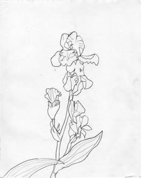 Iris Kveten 15