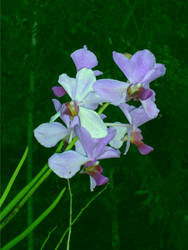 Mi Mom... Mi Orchid..