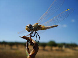 Dragonfly at sun by Sonia-Rebelo
