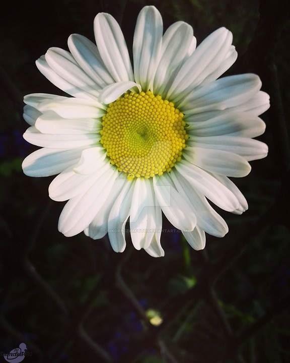White flower by SikoreczkaFoto