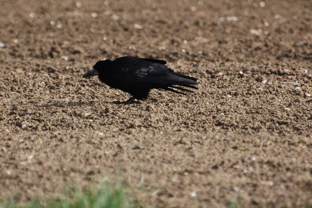 Norfolk Crow by WS-Clave