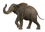 Elephant 4 PNG