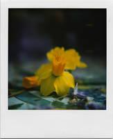 .maiolica gialla. by introvertevent