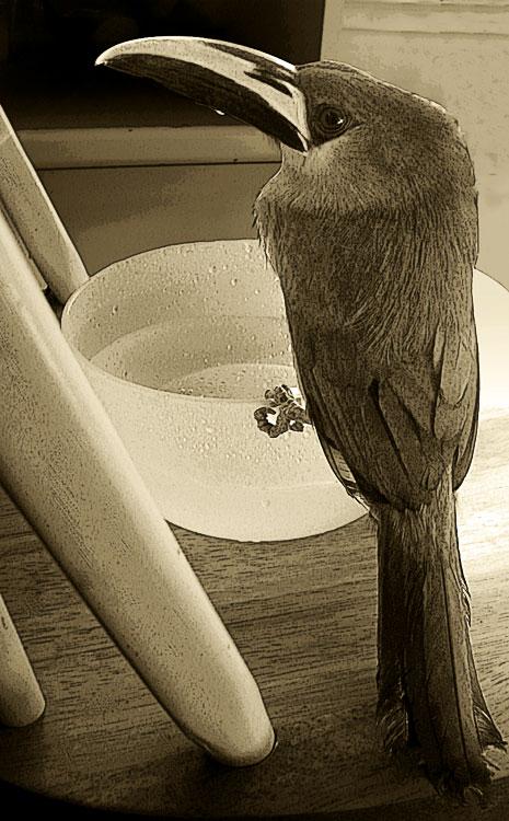 Hal emerald toucanet toucan by Bennett-Burks
