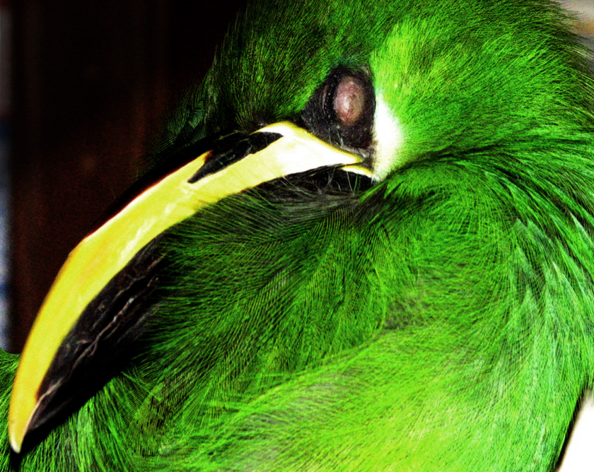 emerald toucanet sleeping by Bennett-Burks