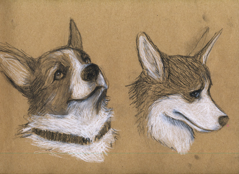 Corgi Study by CheapNoodles on DeviantArt