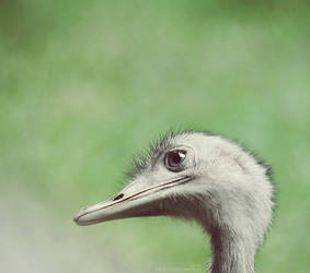 Ostrich by HMsa