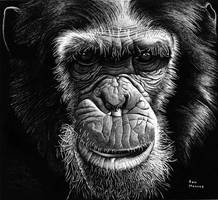 Chimpanzee by ronmonroe