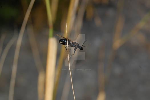Lasius niger male