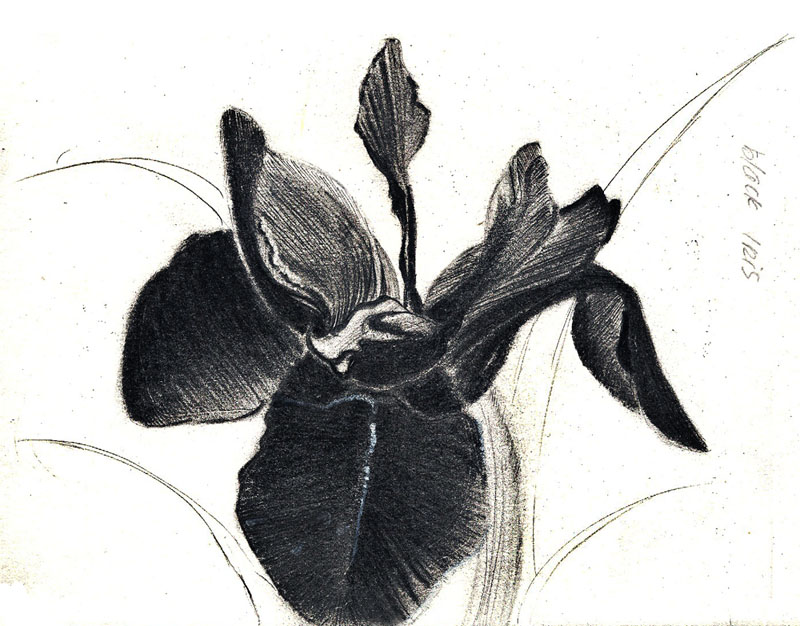 Sketch Study Black Iris By Jadesweetboxx