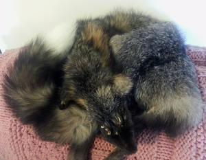 Big Male Cross Fox Pelt for Sale! *ON HOLD*