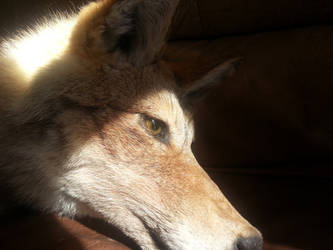 Big Beautiful Alaskan Coyote Soft Mount SOLD! by Anacita