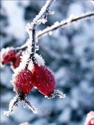 Iced rose hip