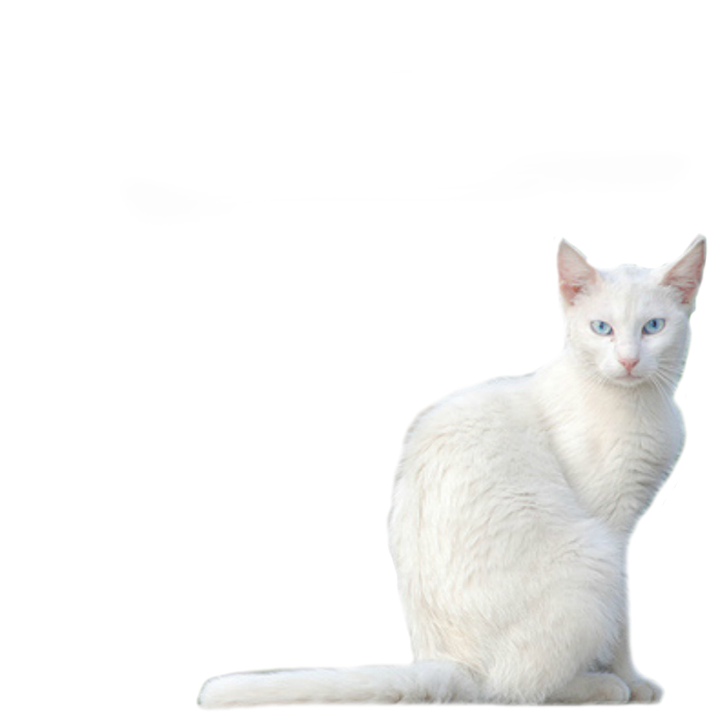 White Kitty PNG Stock