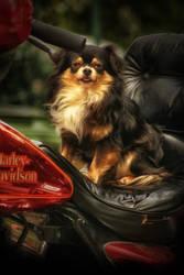 Biker's dog