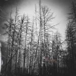 Silver Thorns II