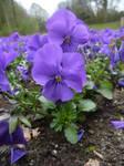 flower 7 -pansy-