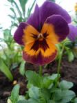 flower 11 -panys-