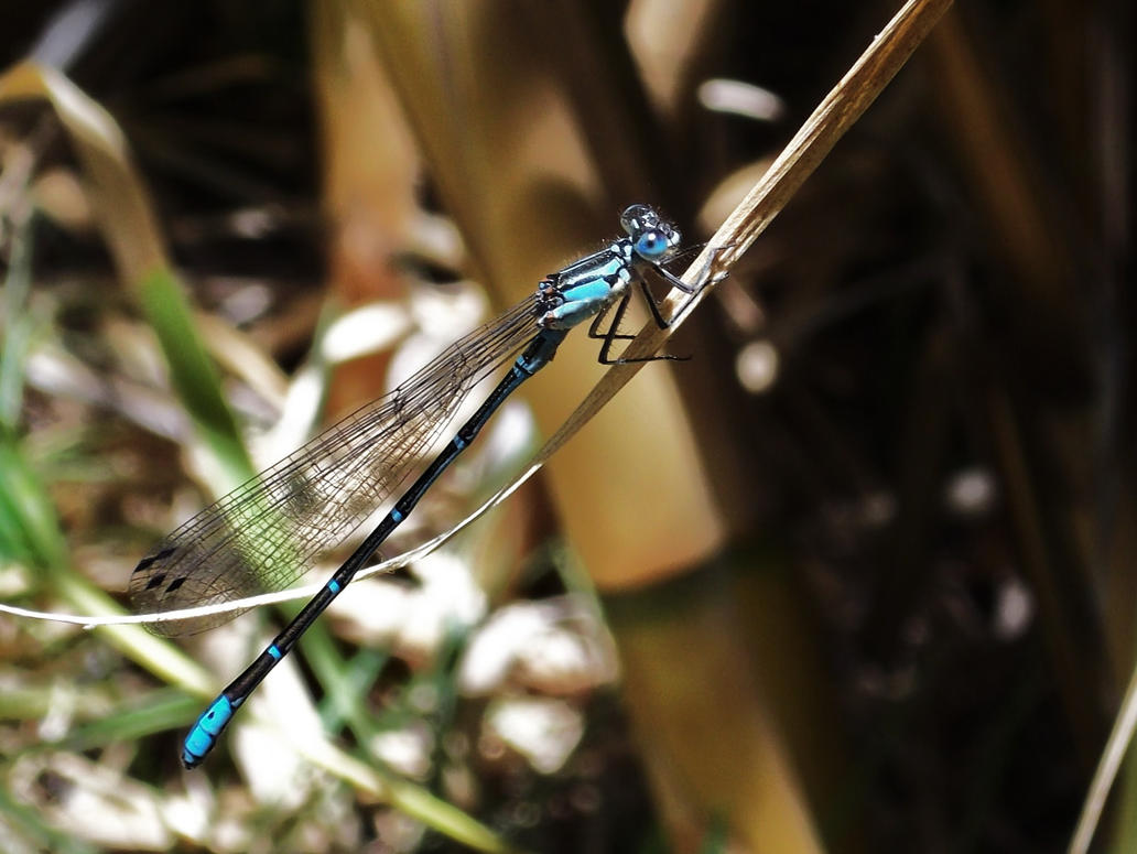 Blue Dragonfly by TheWallProducciones