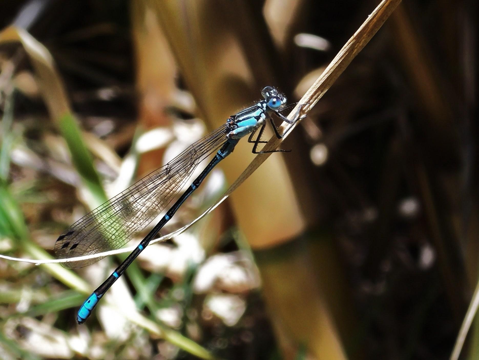 Blue Dragonfly by TheWallProducciones