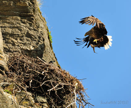 White-Tailed Eagle comes home with fish !