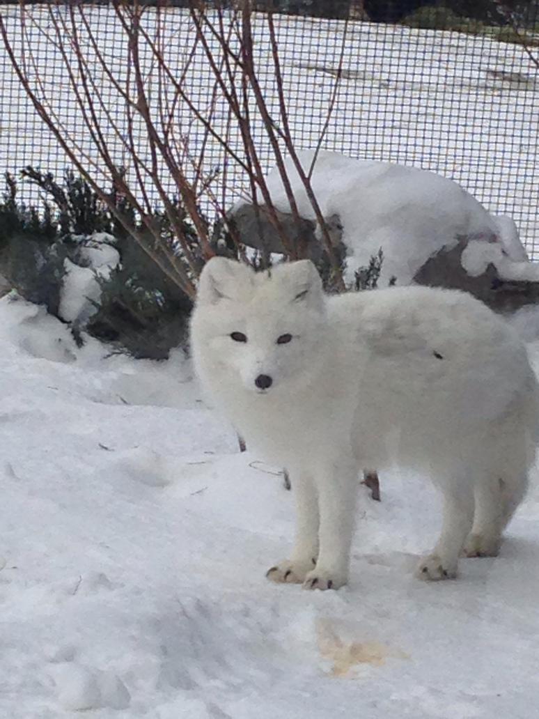 Snow Fox by superpokefreak999