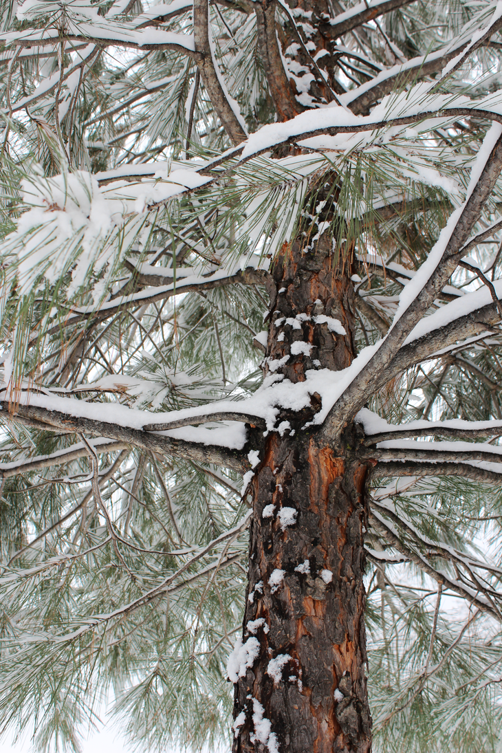 Winter Pines2 by ahhsummer