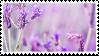 lavender fields. by princerini