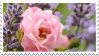 lavender roses. by princerini