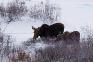 Pinedale Moose by Nestor2k