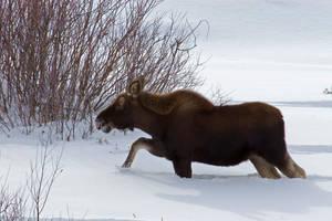 Pinedale Moose 2 by Nestor2k