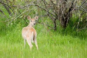 Deer in Buffalo