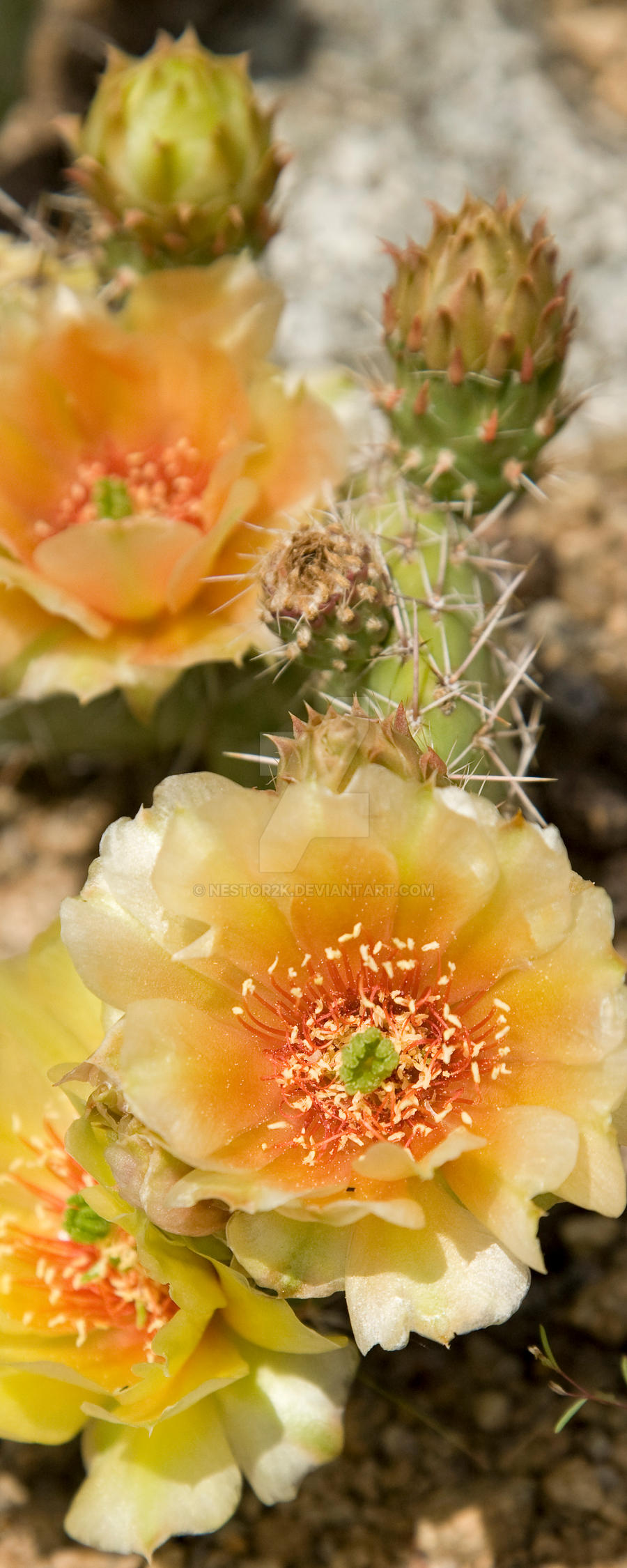 Cactus Flower Tall by Nestor2k