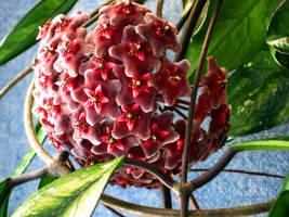 Hoya Flower by Nestor2k