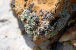 Pesky Lichen