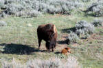Motherly Love of a Bison