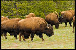 Hungry Hungry Buffalo