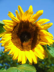 Sunflower Stock 2 by Paulus1962