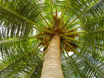 coconut tree by asramnath