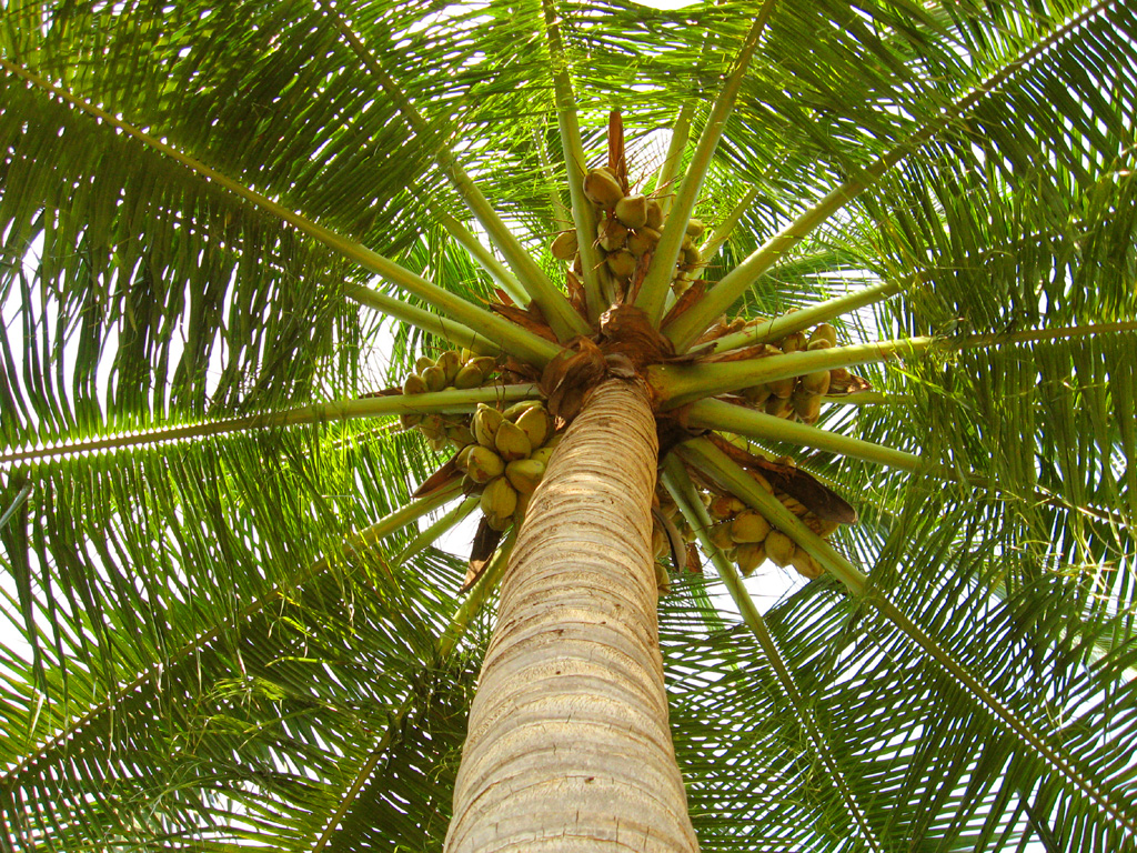Image result for coconut tree