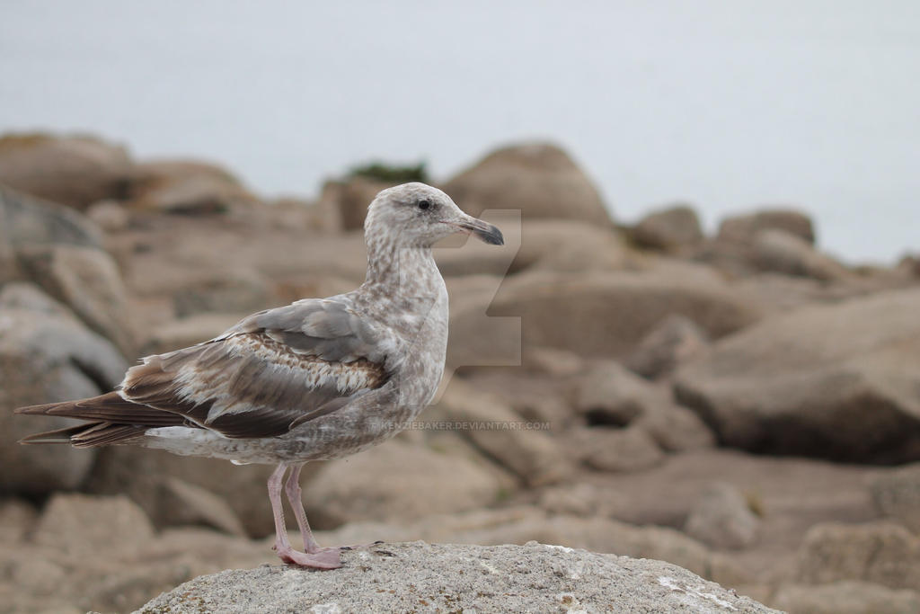 Baby Seagull by kenziebaker on DeviantArt