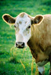 Cow by canorth