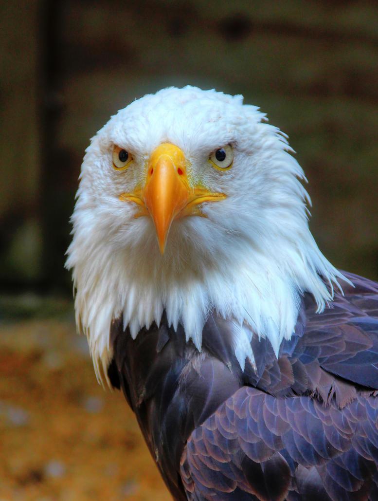 Bald Eagle Portrait by s-kmp