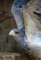 Chilean Eagle 03 by s-kmp