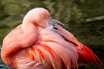 Fluffy Young Flamingo