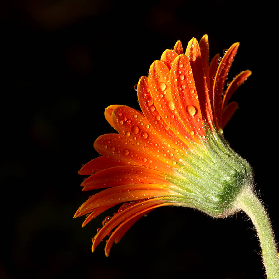 A Simple Flower 02 by s-kmp