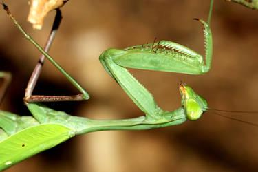 Mantis by s-kmp