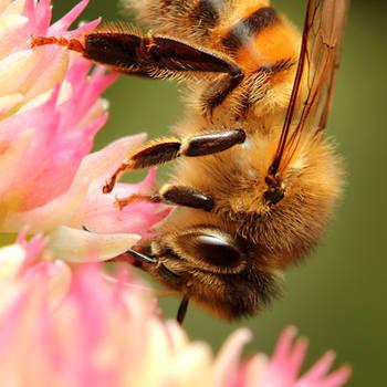 Honey Bee 01 by s-kmp