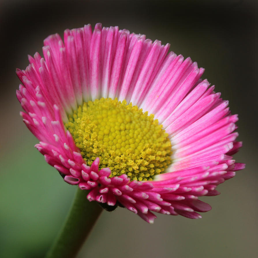 Bellis Perennis 01 by s-kmp